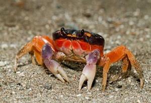 Crabe liquide