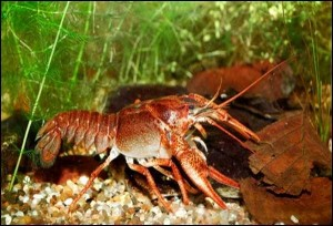 Mix Hot Crayfish
